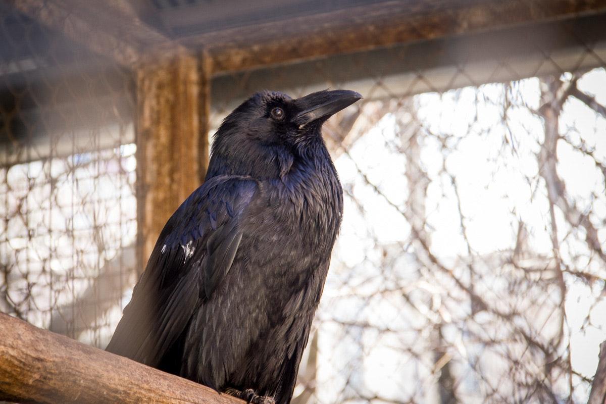 Ravens on Reitarska